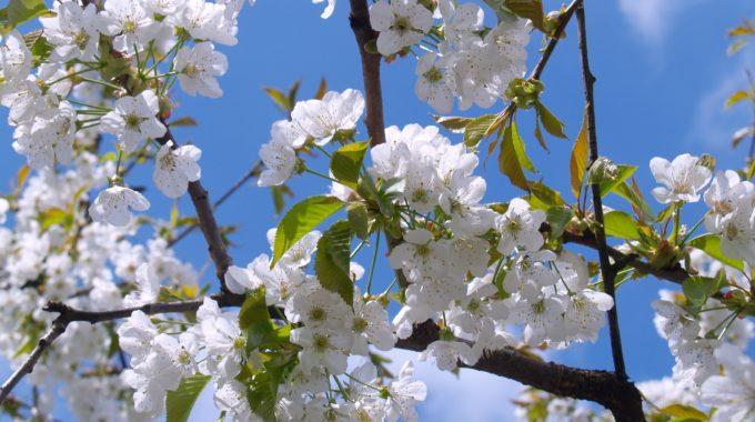 cherry blossom white sky bloom